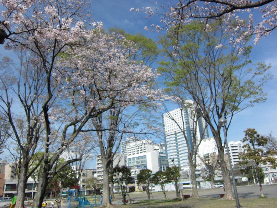 森下公園エガワ新聞堂桜の木