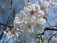 エガワ新聞堂静岡市エリア情報桜
